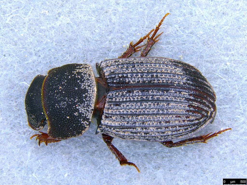 5a - Coleoptera sp.
