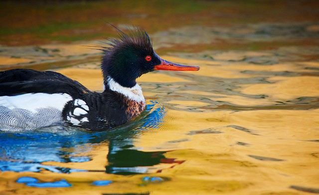 Merganser in Gold