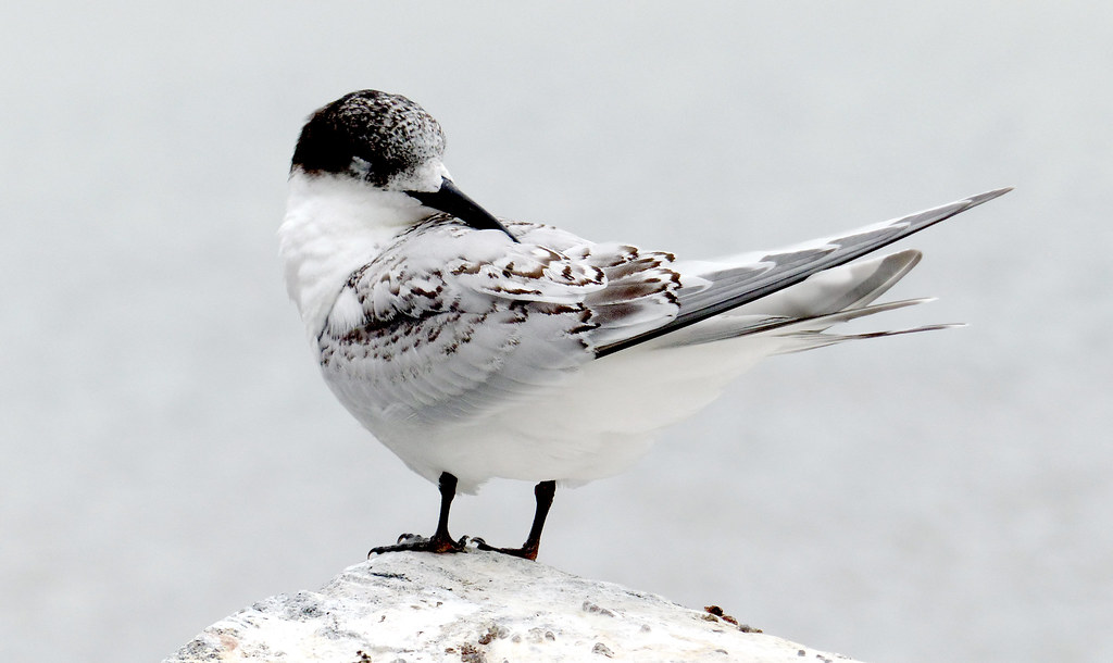 White-fronted Tern NZ