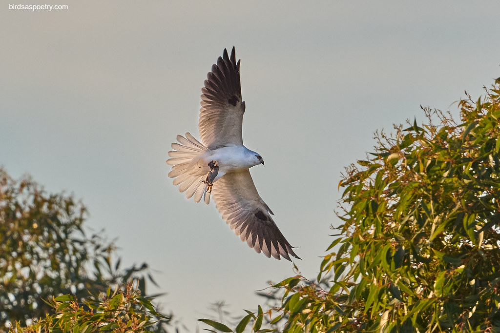 Black-shouldered Kite: Bob's To-Do-List