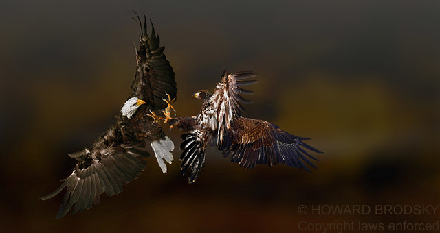 Rembrandt colours of Bald Eagles jousting ....Adult Male and Juvenile Female..stunning background and light ...IMHO......