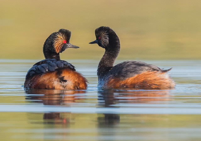 Black-necked Grebes displaying, Nottinghamshire, England. DSC_1146.jpg