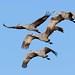 248A1617 sandhill crane