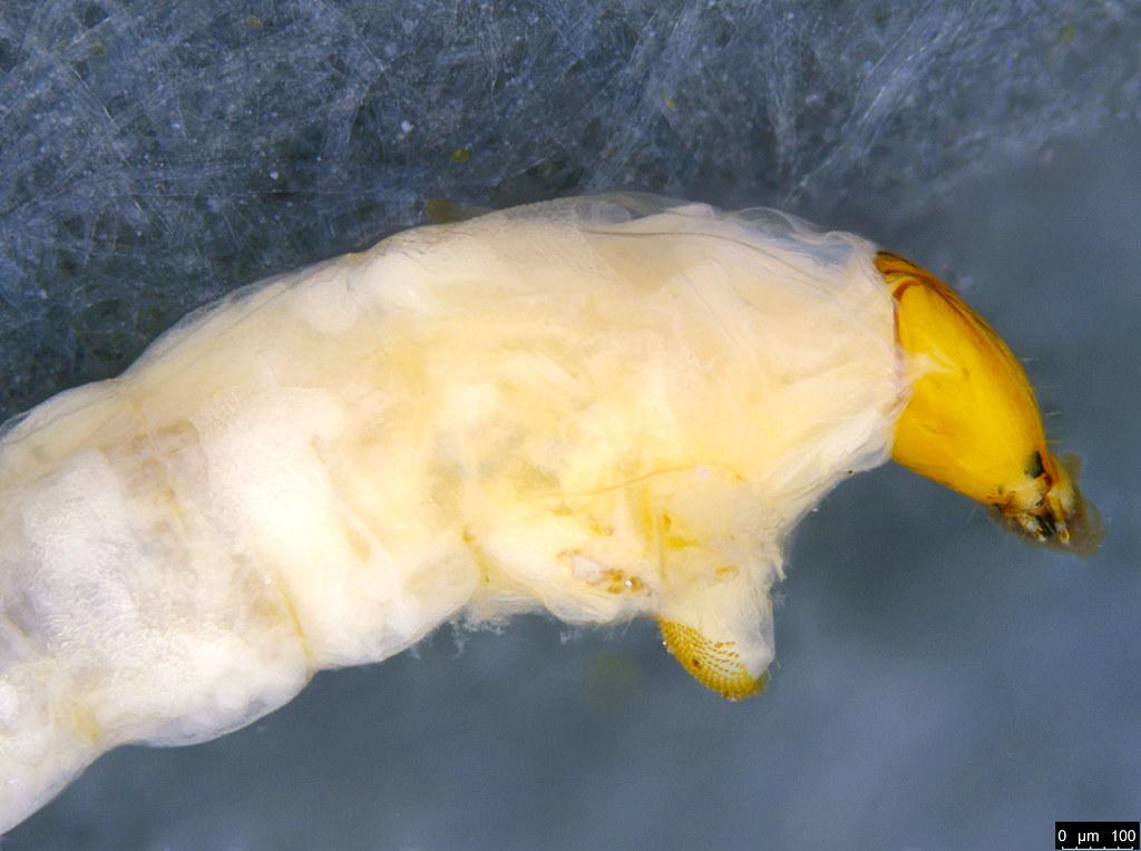 11b - Sciaroidea sp.