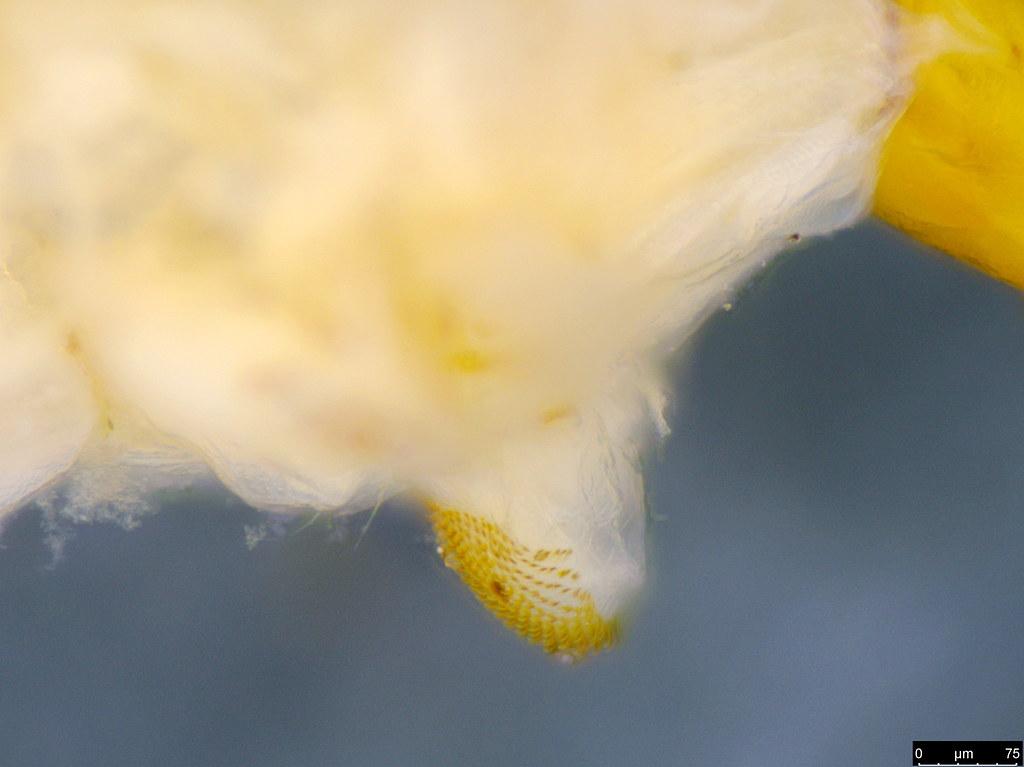 11c - Sciaroidea sp.