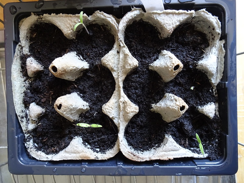 FOUR tomato seedlings....
