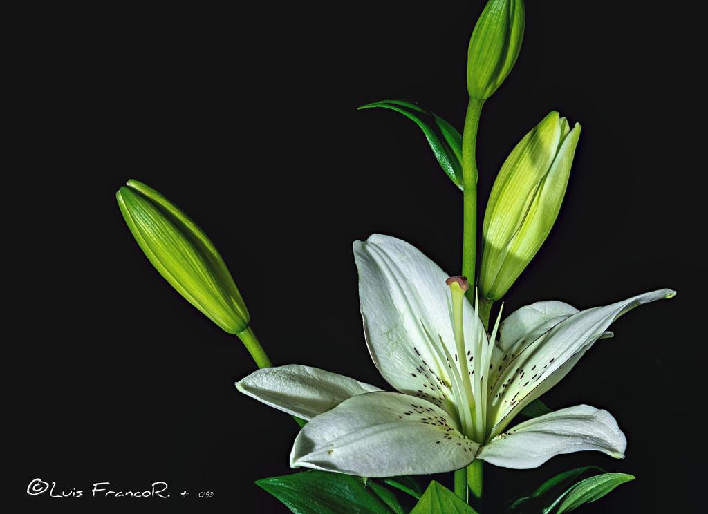 white lilie Flower - Lirio blanco