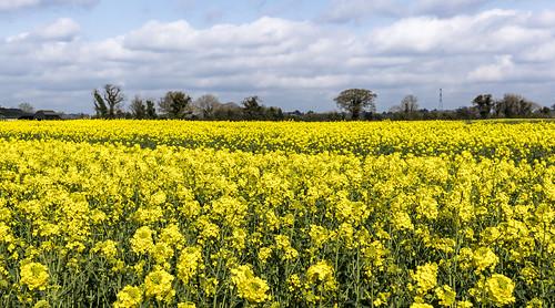 yellow rapeseed sal16105 landscape sonya68 leixlip confey cokildare