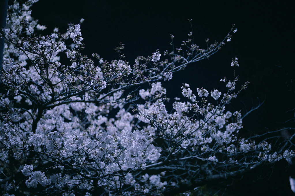山崎川夜桜