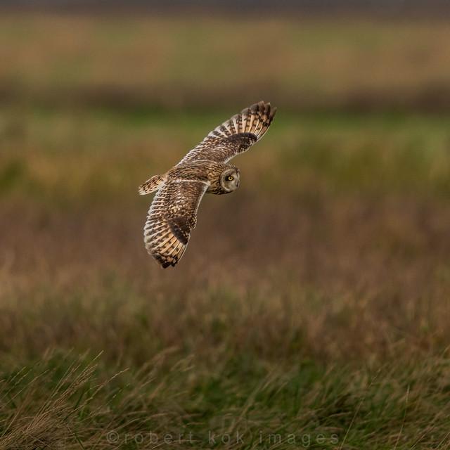 Short-eared Owl / Asio flammeus / Velduil