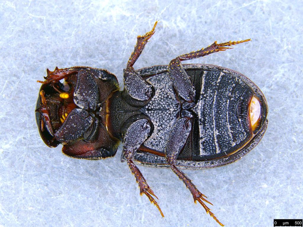 5b - Coleoptera sp.