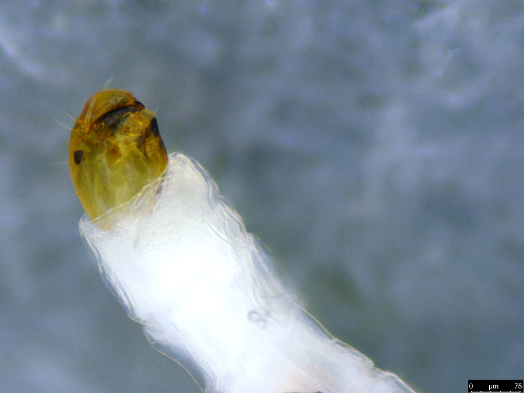 12b - Sciaroidea sp.