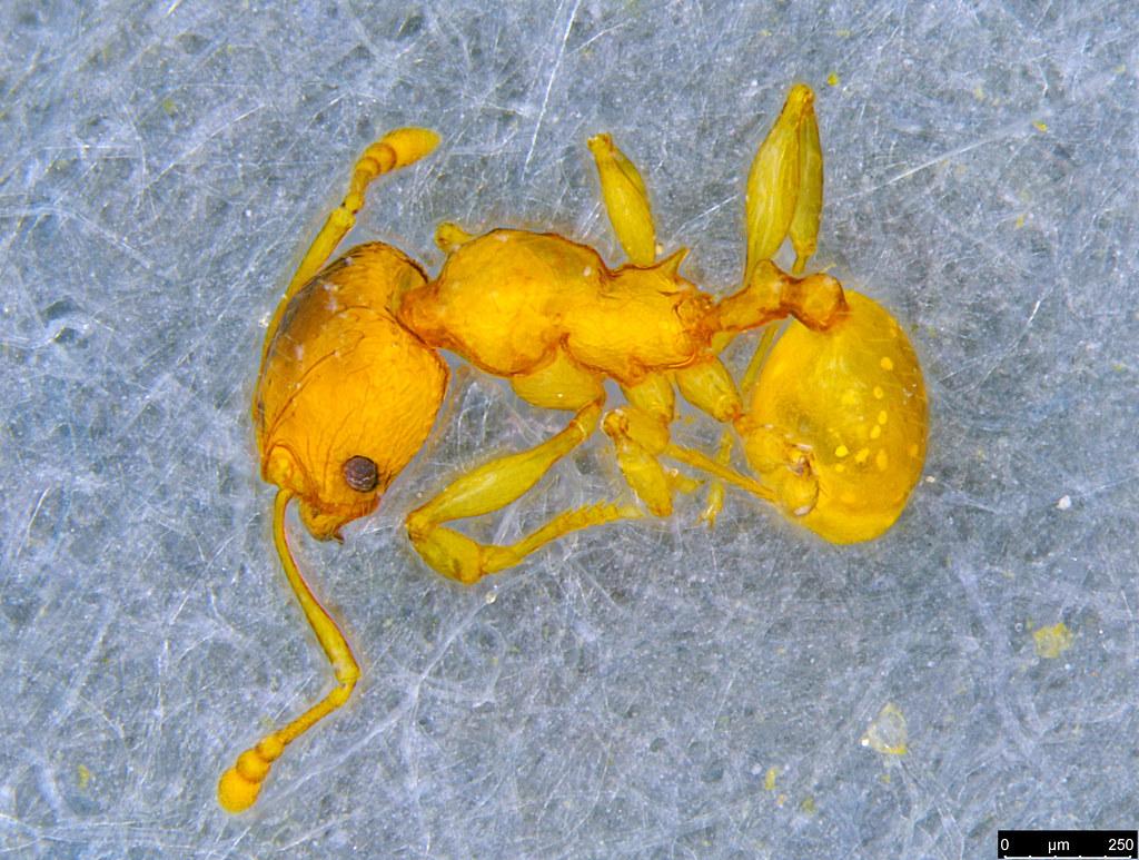 15b - Myrmicinae sp.
