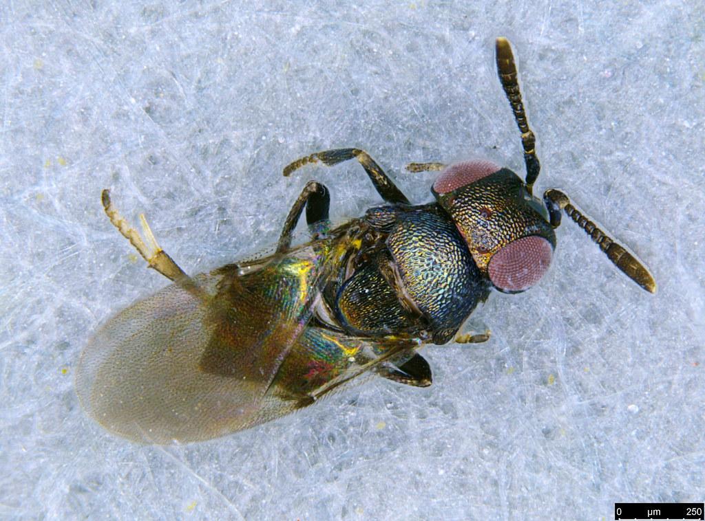 16a - Encyrtidae sp.