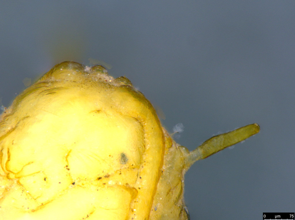 17c - Lepidoptera sp.