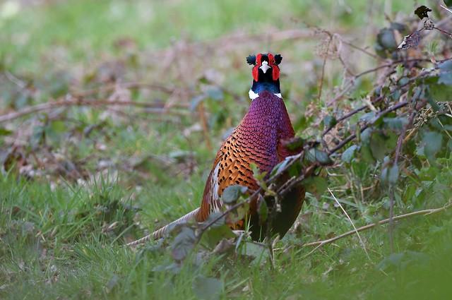 Walkabout around Weir Wood Reservoir - Common Pheasant.