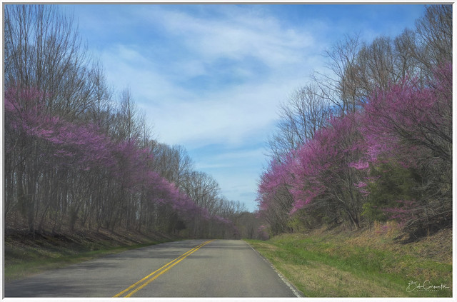 Red Bud Trees in Bloom