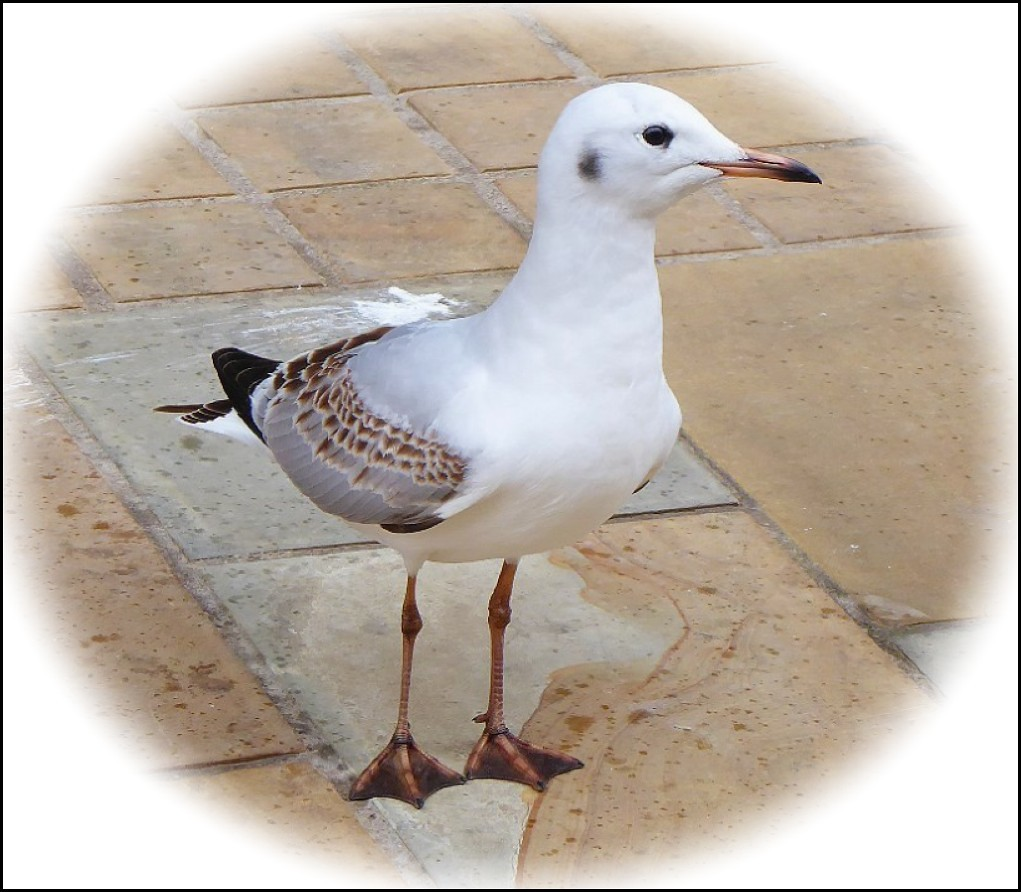 Young Black-Headed Gull ..