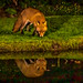 Fox reflection