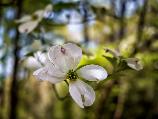 Where the wild dogwoods are (02)
