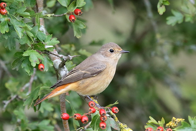 From the Archives:- Common Redstart (Phoenicurus phoenicurus) ♀