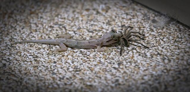 Lizard and the spider / Lagartixa e a Aranha