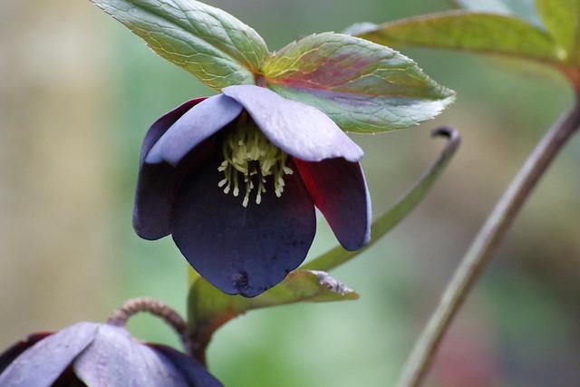 Hellebore 'Ashwood Black' (Helleborus hybridus)