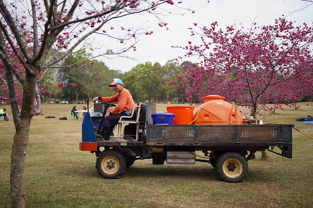 Nourishing the sakura trees!