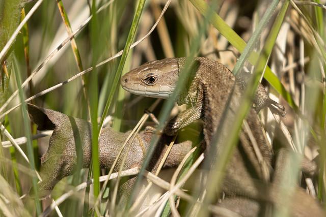 Zootoca vivipera (Viviparous Lizard) - Lacertidae - Lyveden New Bield, Northamptonshire, UK