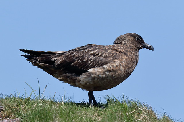 From the Archives:- Great Skua or Bonxie (Stercorarius skua)