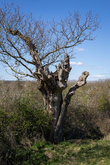Quercus robur (Pedunculate Oak) ancient hedgerow pollard - Fagaceae - Lyveden New Bield, Northamptonshire, UK-2
