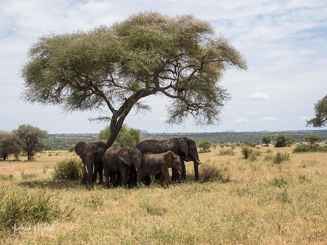 Elephants under a tree