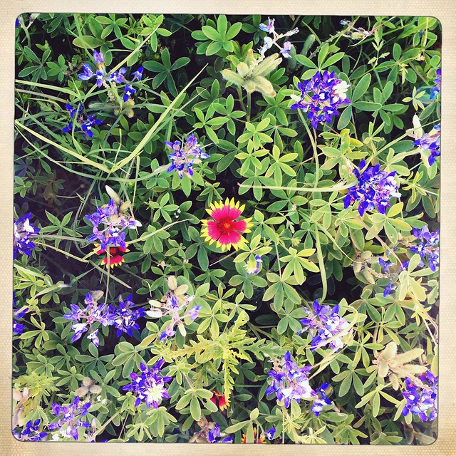 Texas Wildflowers, April, 2016 (Explored)