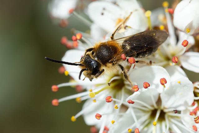 Andrena haemorrhoa (Orange-tailed Mining Bee) male - Andrenidae - Lyveden New Bield, Northamptonshire, UK