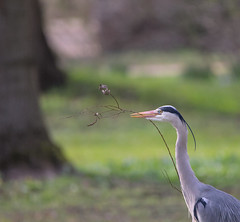 Grey heron looks for the right twig