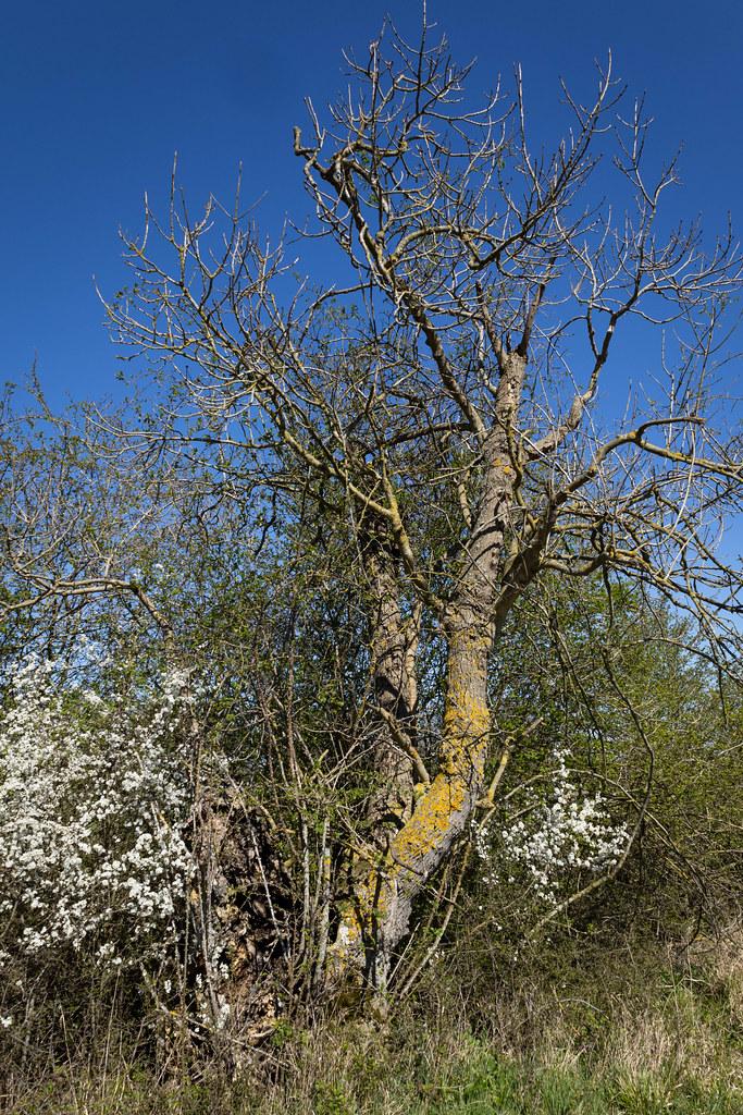 Fraxinus excelsior (European Ash) ancient hedgerow pollard - Oleaceae - Lyveden New Bield, Northamptonshire, UK-2