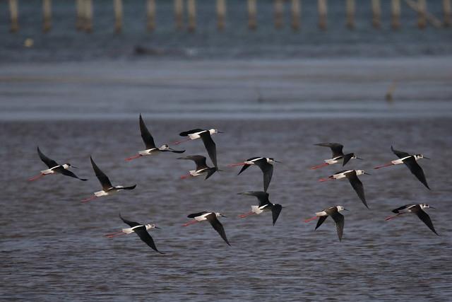 Flock of Black-winged Stilt