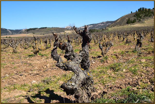 Cepas (Haro, La Rioja, España, 13-3-2021)