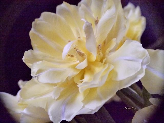 ~Double Tulip~