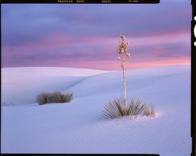 Twilight Yuccas