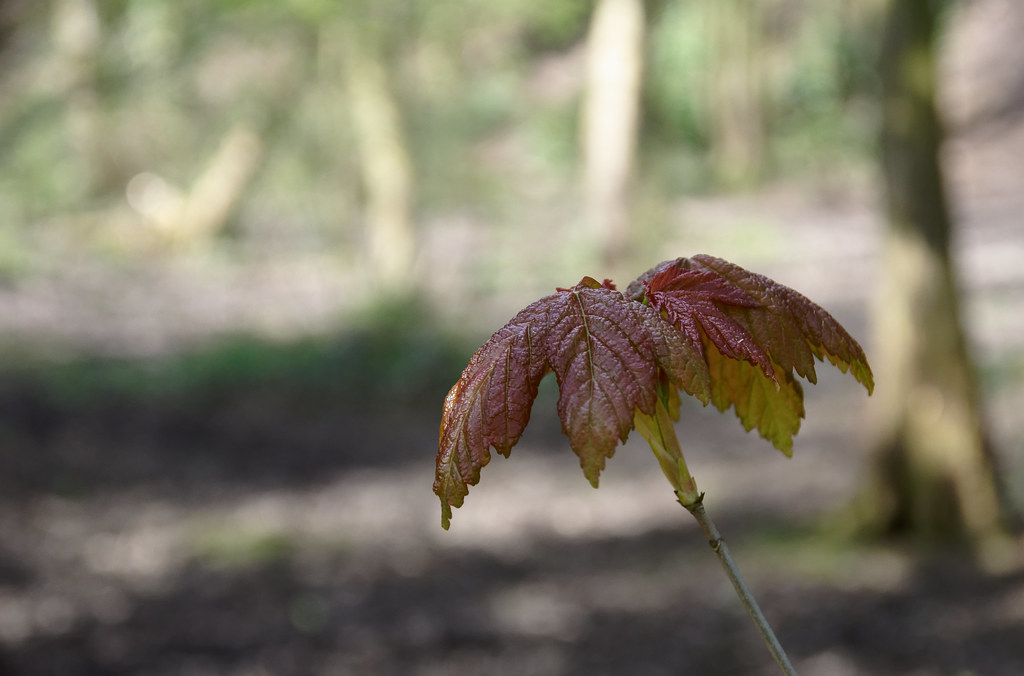 Young Sycamore