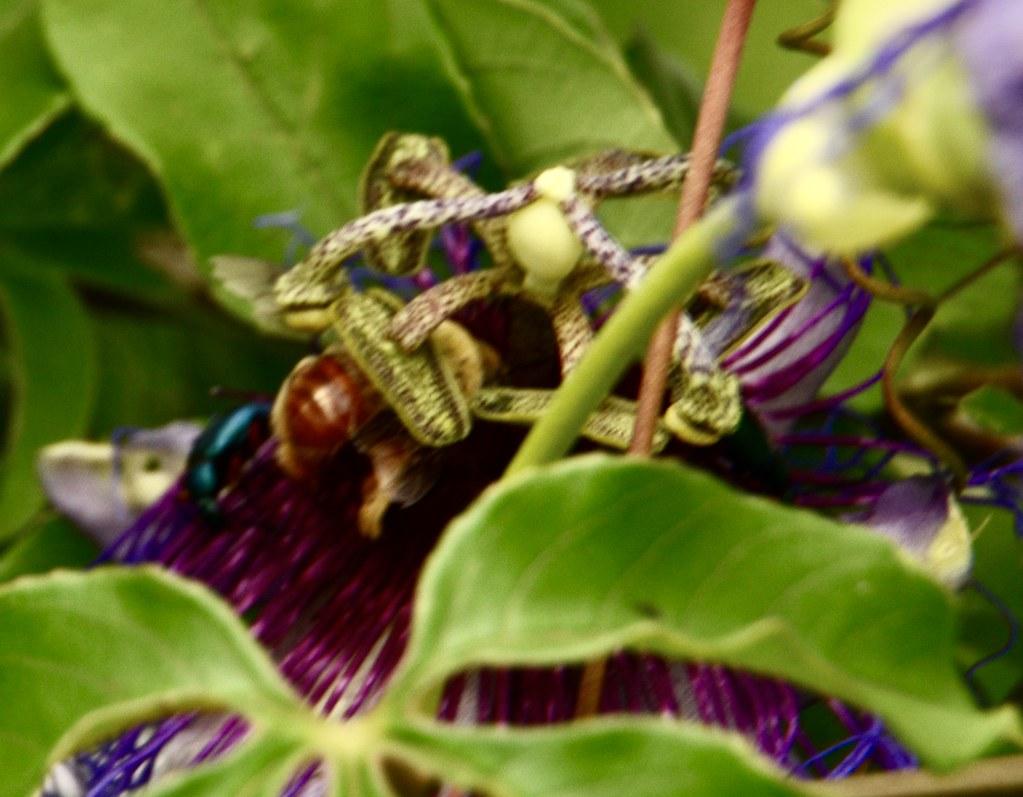 Passiflora Cincinnata Mast Passifloraceae
