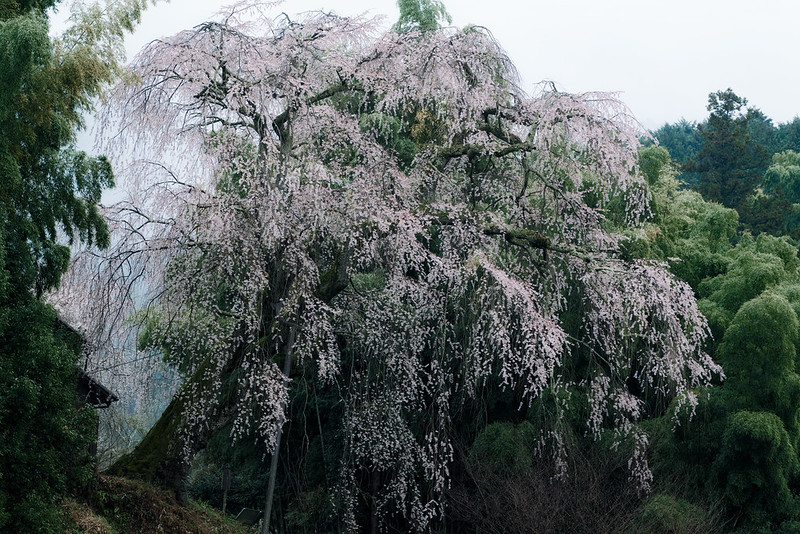 The cherry blossoms on the cliff are quietly wrapped in rain.