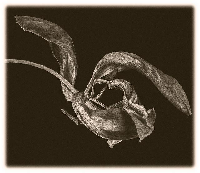 Flowers #35 2021; Dead Tulip