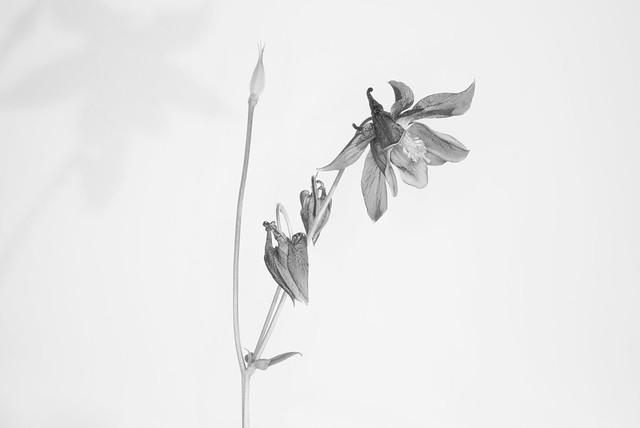 COVID-19 lockdown: Delicate lines and shades of  Aquilegia flowers (granny's bonnet or columbine). Fine art B&W. A Potterton garden, Potterton, Aberdeenshire, Scotland.