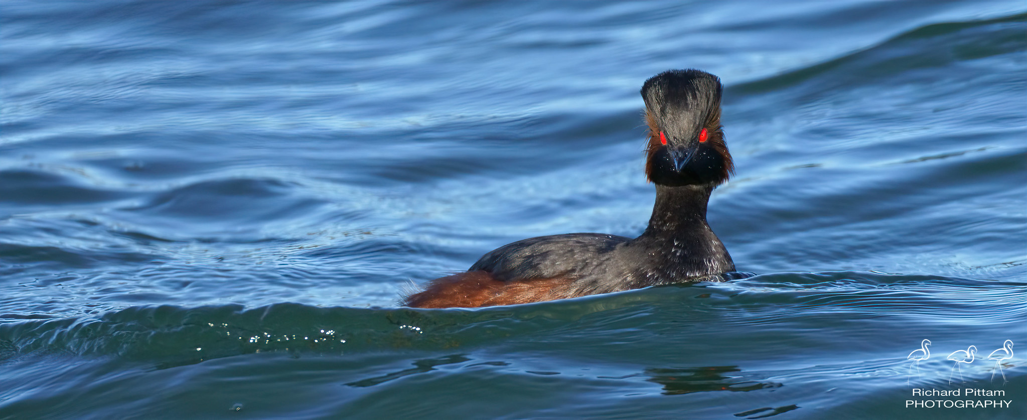 Black-necked Grebe - very cold and windy day