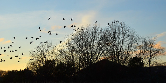 Sunset with rooks