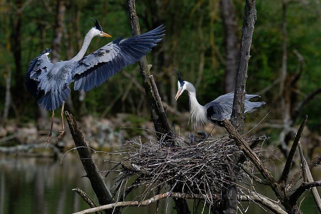 The arrival of supplies (Chicks are visible in the nest) -  L'arrivée du ravitaillement (Les poussins sont visibles dans le nid) - Héron cendré - Ardea cinerea - Grey Heron - Graureiher-cinerea - Garza Real - Airone cenerino