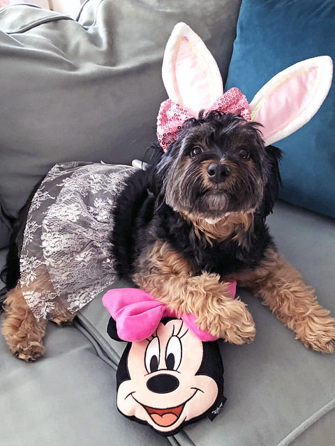 Picture Of Mandy A Female Yorkie Mix Is Posing As The Easter Bunny On Easter Sunday 2021. Photo Taken Sunday April 4, 2021