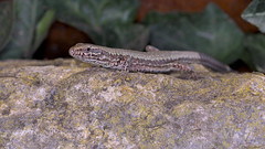Another wall lizard with blue spots